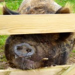Harry the Kune Kune pig