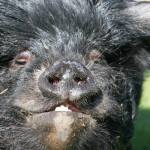 Piglocks the Kune Kune pig