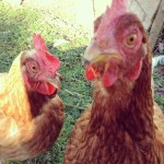 Burrow Wood Farm Chickens 1