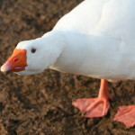 Goose at Burrow Wood Farm