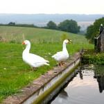 Geese at Burrow Wood Farm