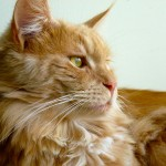 Khan the Maine Coon