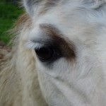 Llamas at Burrow Wood Farm