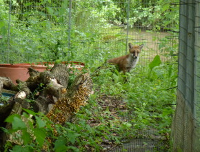 Rehabilitating Fox Cubs